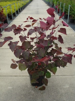 Cercis canadensis 'Forest Pansy' | Roodbladige judasboom (12L pot)