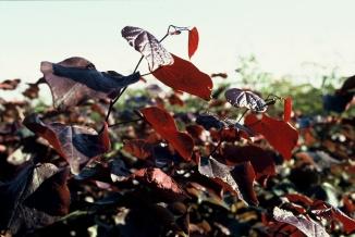 Cercis canadensis 'Forest Pansy' | Roodbladige judasboom