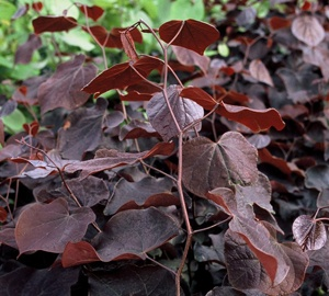 Cercis canadensis 'Forest Pansy' Roodbladige judasboom