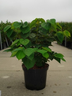 Cercis chinensis 'Avondale' | Chinese judasboom (12L pot)