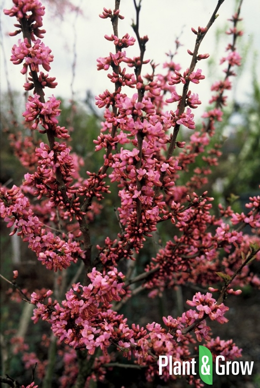 Cercis chinensis 'Avondale' | Chinese judasboom