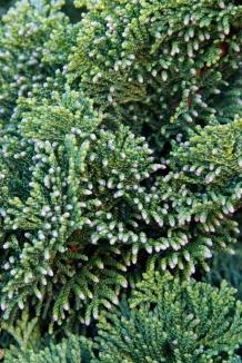 Chamaecyparis obtusa 'Nana Gracilis' | Schijncipres