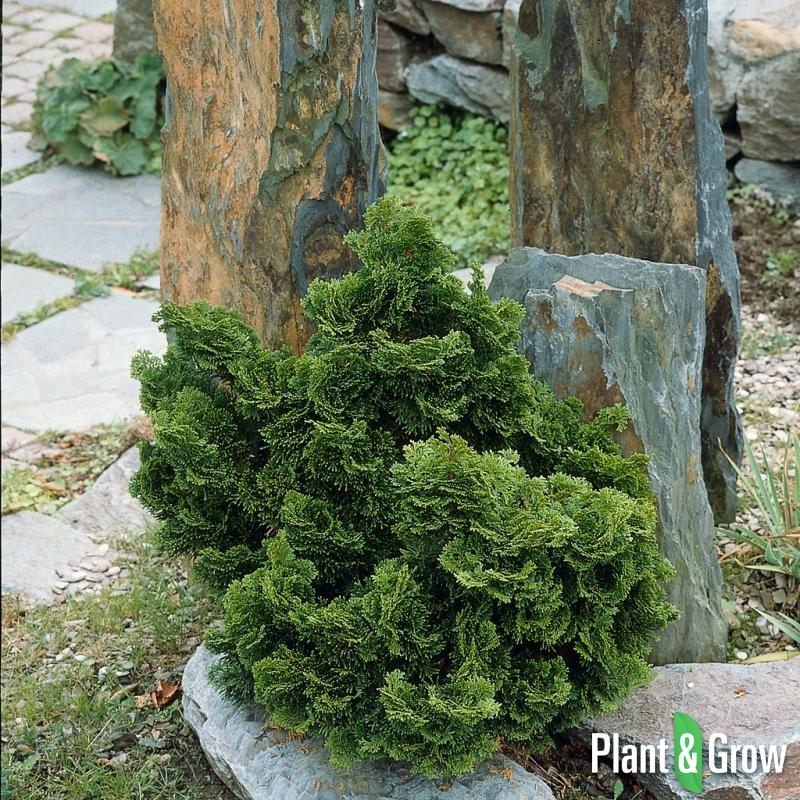 chamaecyparis obtusa 39 nana gracilis 39 schijncipres kopen. Black Bedroom Furniture Sets. Home Design Ideas