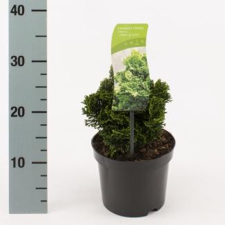 Chamaecyparis obtusa 'Nana Gracilis' | Schijncipres (Ø 17 cm pot)