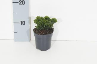 Chamaecyparis obtusa 'Nana Gracilis' | Schijncipres (Ø 9,5cm pot)