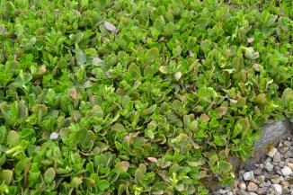 Chiastophyllum oppositifolium | Goudkorrel