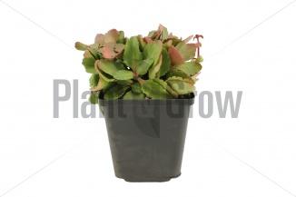 Chiastophyllum oppositifolium | Goudkorrel (pot 9x9cm)