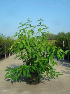 Chimonanthus praecox   Winterzoet (12L pot)