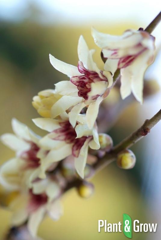 Chimonanthus praecox | Winterzoet