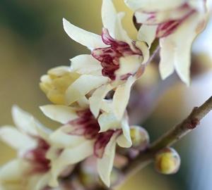 Chimonanthus praecox Winterzoet
