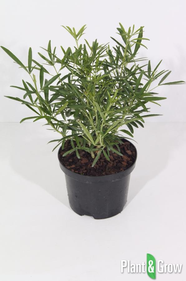 choisya ternata aztec pearl kopen plant grow