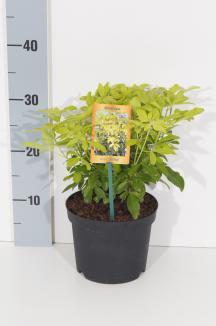 Choisya ternata 'Brica'   Choisya (Ø 17cm pot)