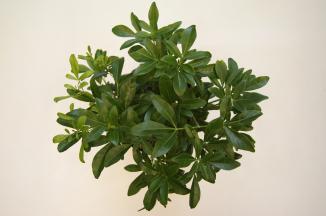 Choisya ternata | Choisya (Ø 17cm pot)