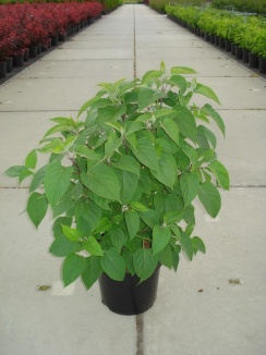 Clerodendrum trichotomum | Kansenboom (12L pot)