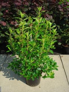 Clethra alnifolia 'Pink Spire' | Schijnels (12L pot)
