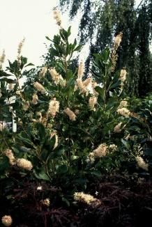 Clethra alnifolia 'Pink Spire' | Schijnels