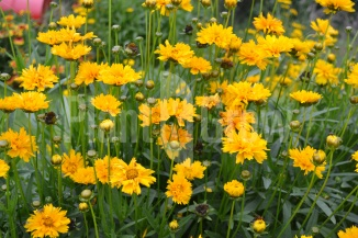 Coreopsis grandiflora 'Early Sunrise' | Meisjesogen