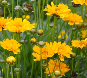 Coreopsis grandiflora 'Early Sunrise' Meisjesogen