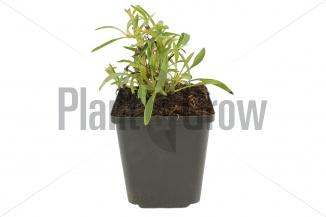 Coreopsis grandiflora 'Early Sunrise' | Meisjesogen (pot 9x9cm) - NAJAAR