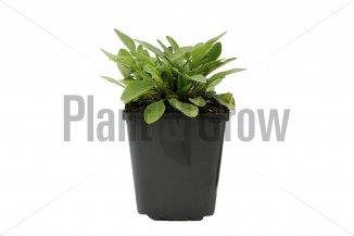 Coreopsis grandiflora 'Sunray' | Meisjesogen (pot 9x9cm)