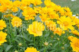 Coreopsis grandiflora 'Sunray' | Meisjesogen