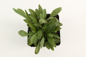 Coreopsis lanceolata 'Baby Gold' | Meisjesogen (pot 9x9cm)