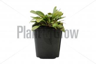 Coreopsis lanceolata 'Sterntaler' | Meisjesogen (pot 9x9cm)