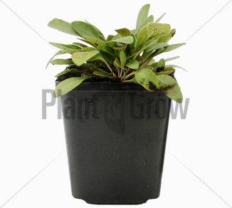 Coreopsis lanceolata 'Sterntaler'   Meisjesogen (pot 9x9cm)
