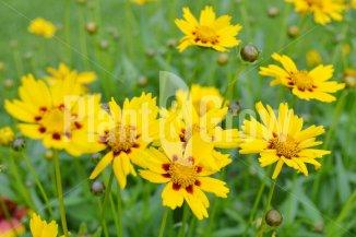 Coreopsis lanceolata 'Sterntaler' | Meisjesogen
