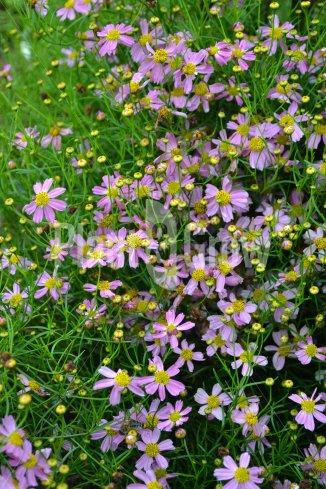 Coreopsis rosea 'American Dream' | Meisjesogen