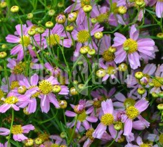 Coreopsis rosea 'American Dream' Meisjesogen