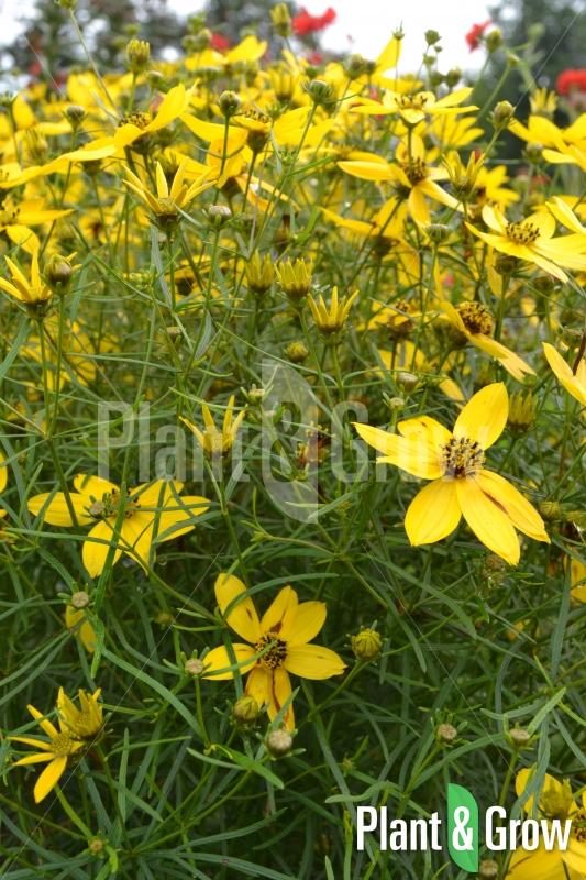 Coreopsis verticilata | Meisjesogen