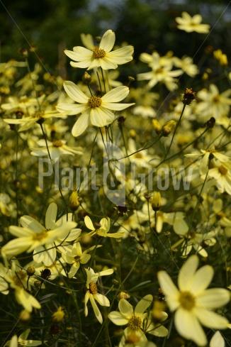 Coreopsis verticilata 'Moonbeam' | Meisjesogen