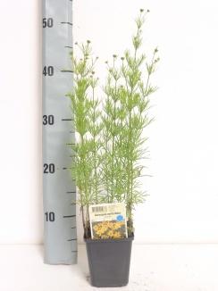Coreopsis verticillata 'Zagreb' | Meisjesogen (pot 9x9cm)