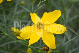Coreopsis verticillata 'Zagreb' | Meisjesogen