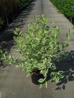 Cornus alba 'Elegantissima' | Bonte kornoelje (12L pot)