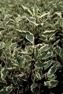 Cornus alba 'Elegantissima' | Bonte kornoelje