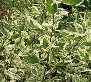 Cornus alba 'Elegantissima' Bonte kornoelje