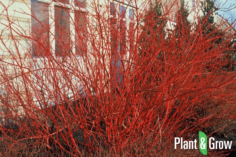 cornus alba 39 sibirica 39 kopen plant grow. Black Bedroom Furniture Sets. Home Design Ideas