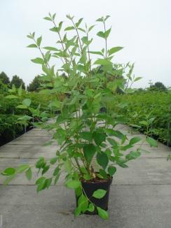 Cornus alba 'Sibirica' | Witte kornoelje (12L pot)