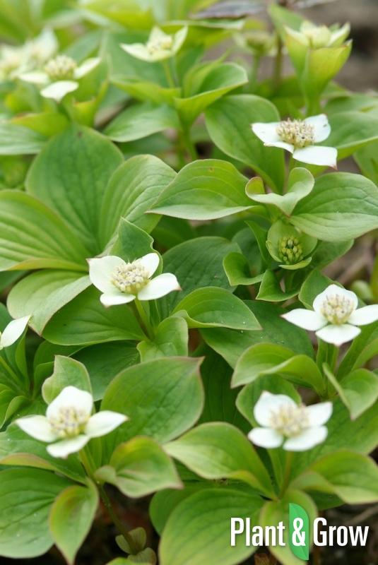 Cornus canadensis | Kruipende kornoelje