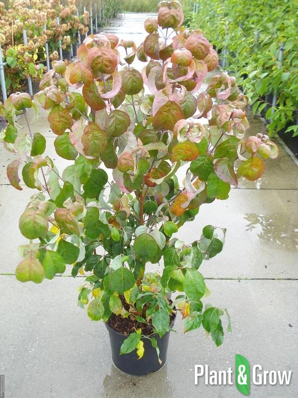 Cornus florida | Kornoelje (12L pot)
