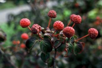 Cornus kousa 'Satomi' | Grootbloemige Japanse kornoelje vruchten
