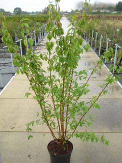 Cornus mas | Gele kornoelje (12L pot)