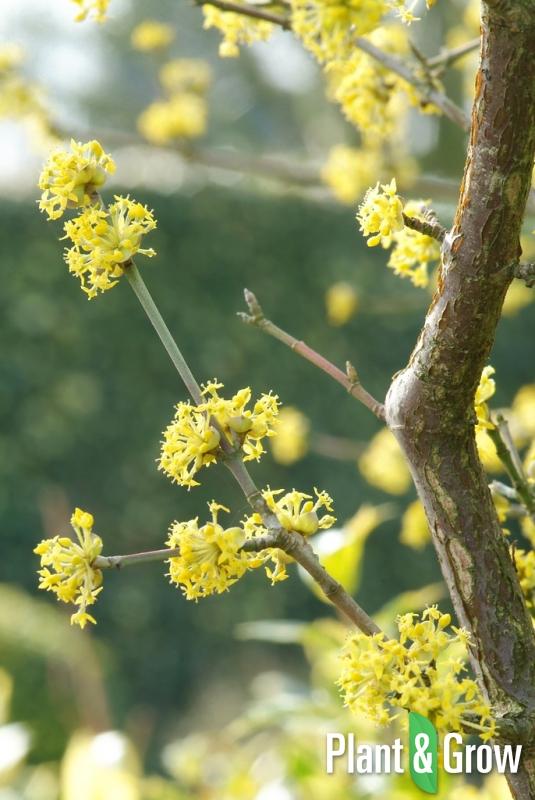 Cornus mas | Gele kornoelje