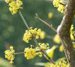 Cornus mas Gele kornoelje