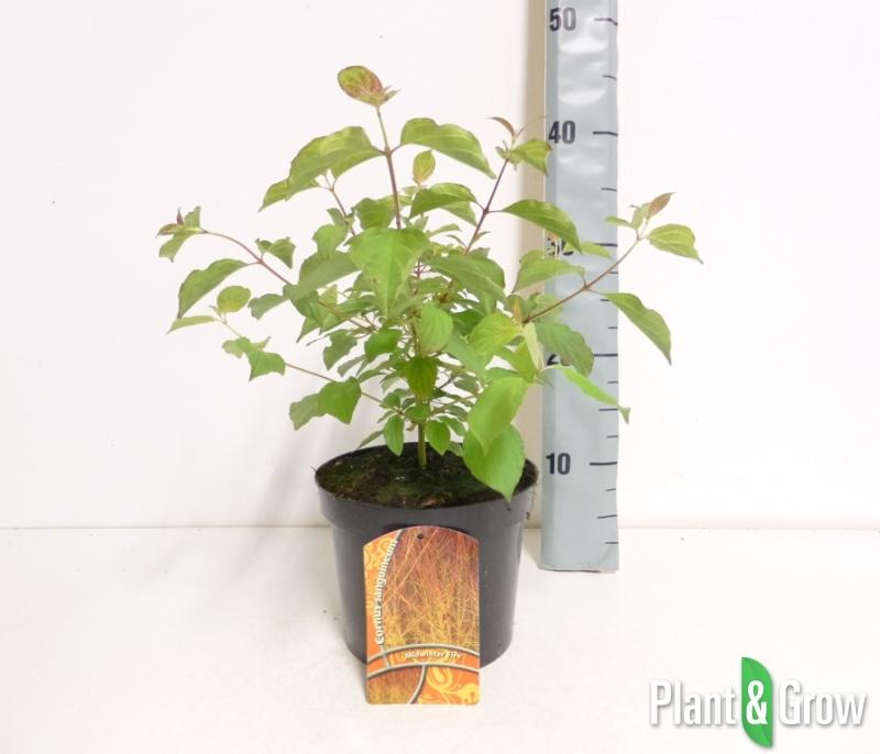 Cornus sanguinea 'Midwinter Fire' | Rode kornoelje (Ø 17cm pot)