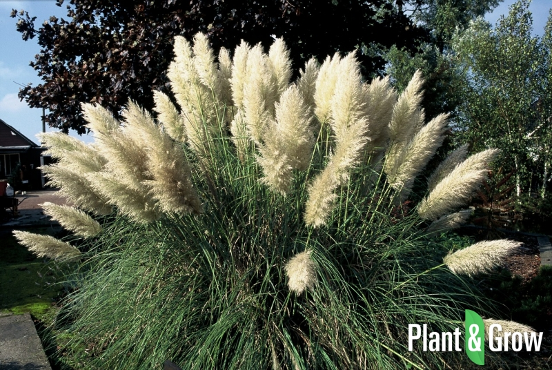 cortaderia selloana 39 pumila 39 pampasgras kopen plant grow. Black Bedroom Furniture Sets. Home Design Ideas