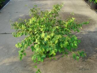 Corylopsis pauciflora | Schijnhazelaar (12L pot)