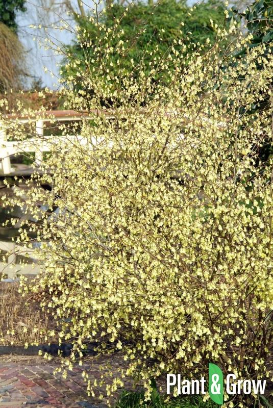 Corylopsis pauciflora | Schijnhazelaar